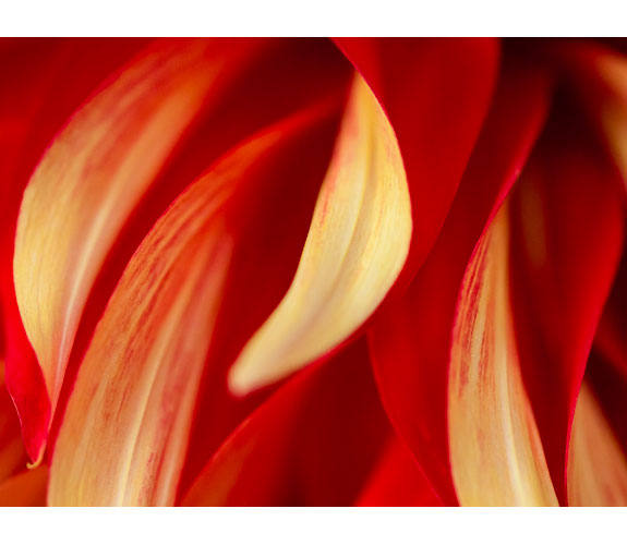 """Dahlia Petals for Mom"" by Keith Lazelle"
